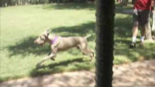 Las Vegas Weimaraner Rescue Dog - Pawnee