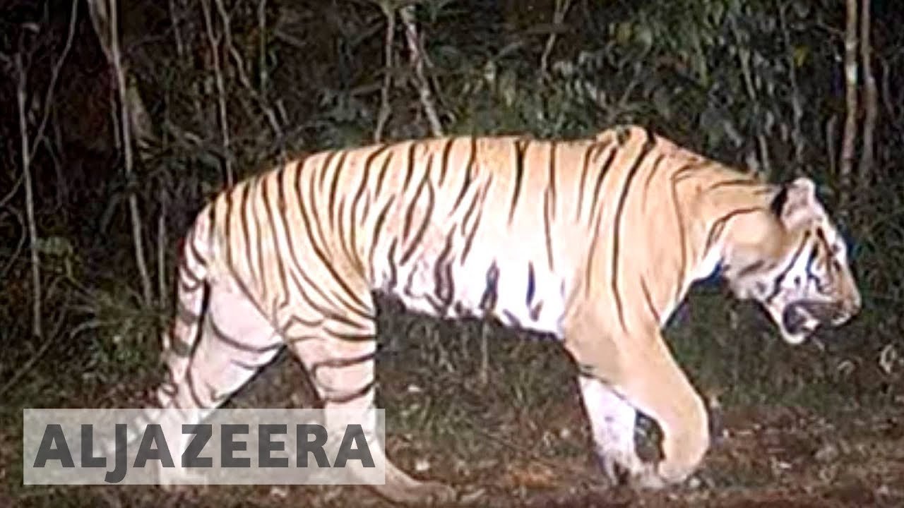 Image of: Malayan Tiger Endangered Tigers Of Thailand Tigers In Crisis Endangered Tigers Of Thailand Youtube