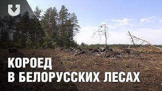 Масштаб поражения белорусских лесов короедом