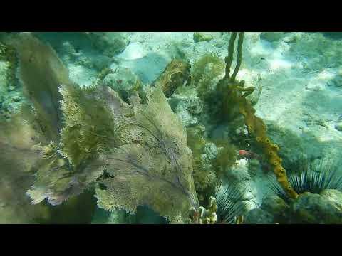 A rare Bridled Burrfish in Leinster Bay, Virgin Islands National Park, St John, VI