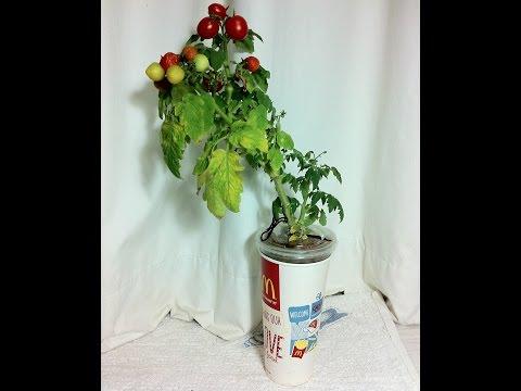 "Singapore LimSan's Heirloom Cherry Tomato ""Vilma"" / 樱桃番茄""比尔马"" / 家宝チェリートマト」ヴィルマ」/ 보 체리 토마토 ""빌마"""