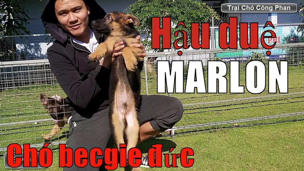 GSD | Chó becgie đức con hậu duệ MARLON. Trại chó Công Phan
