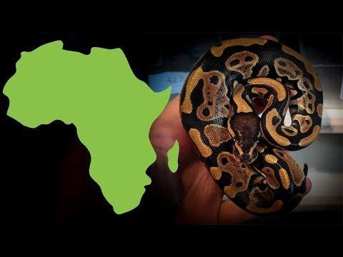 10 AFRICAN IMPORTED BALL PYTHONS!! They are so CUTE!
