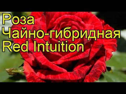 Роза чайно-гибридная Ред Интуишн. Краткий обзор, описание характеристик Red Intuition