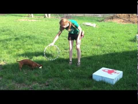 Ammo the Dachshund is a Hoop Jumping Machine
