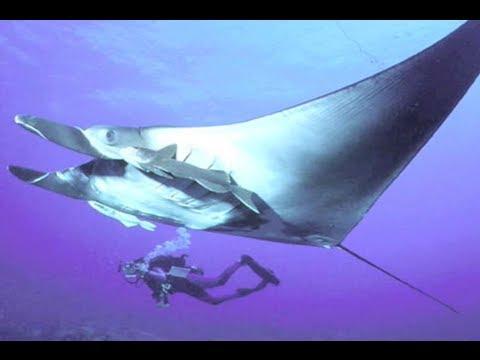 Manta Rays: Masters of Fluid Dynamics