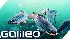 So wird Lachs in Norwegen gezüchtet | Galileo | ProSieben