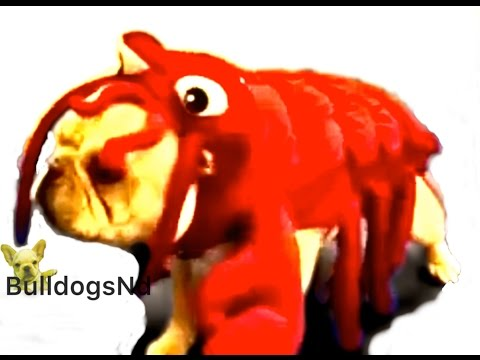 His reaction is Priceless! French Bulldog vs Lobster? from YouTube · Duration:  1 minutes 15 seconds
