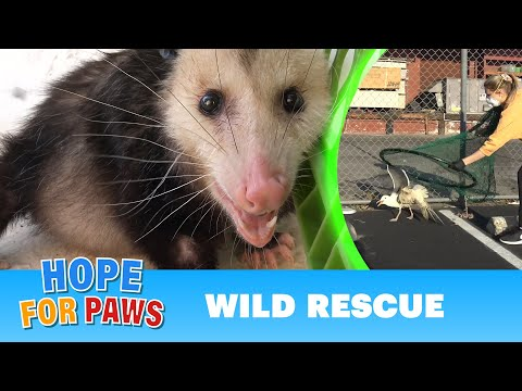 Wild animals in trouble during COVID-19 + NEW Hope For Paws APP!