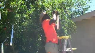Scaring Birds Away From My  Plum Tree