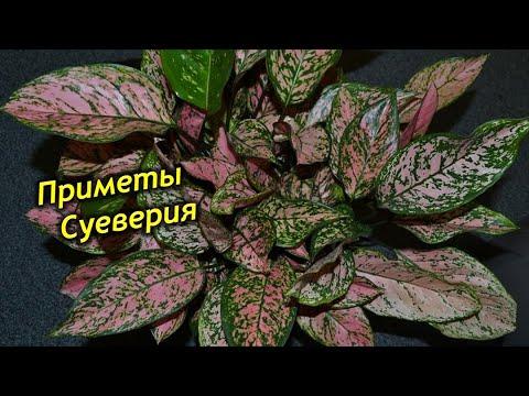 Вопрос: Какие приметы связаны с цветком бугенвиллия?