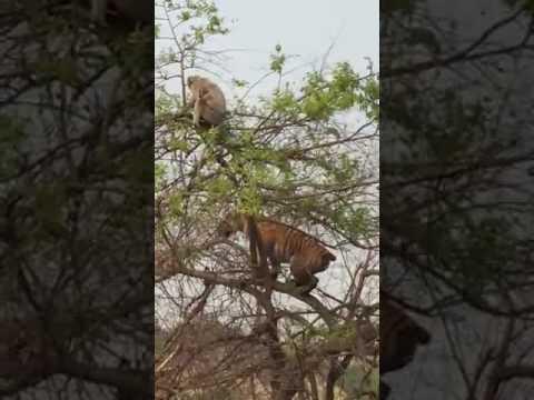 Tiger hunting monkey at national park ranthambore swaimadhopur rajasthan india