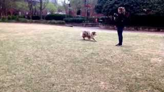 Charlotte Dog Training Uberdog Trainer Katrina Kranz Obedience And Tricks