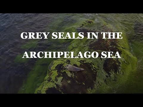 Grey seals in the Archipelago Sea