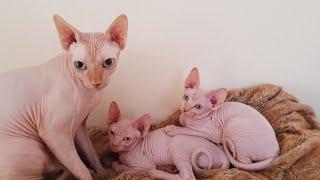 Mèo Sphynx quý hiếm của Aİ Cập đẻ con như thế nào?