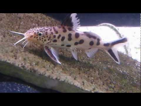 Synodontis Multipunctatus - The Notorious Cuckoo Catfish
