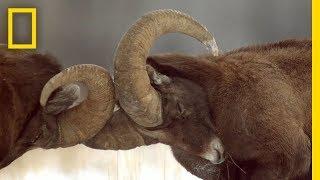 Animals Fight in Yellowstone - ASMR Yellowstone Live