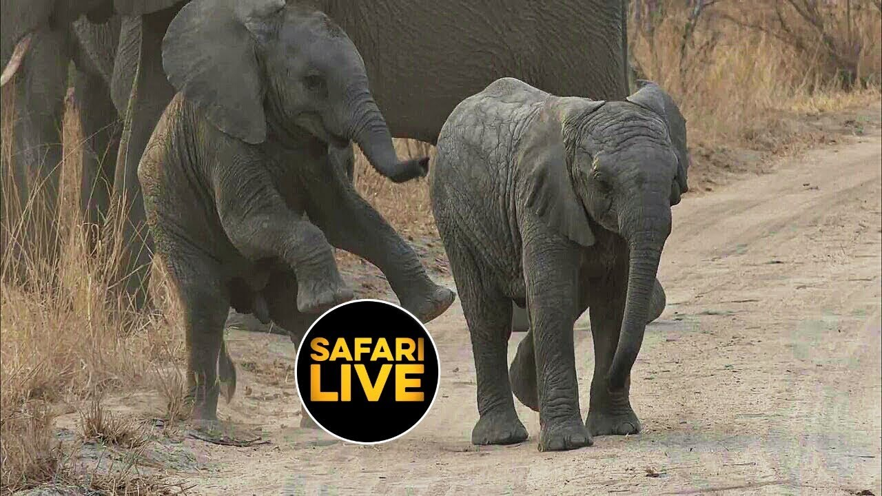 safariLIVE - Sunrise Safari - September 03, 2019 - YouTube