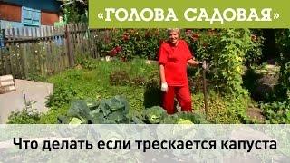 Голова садовая - Что делать если трескается капуста(, 2016-09-15T02:55:05.000Z)