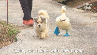 Duck So In Love With A Dog | SBS Animal