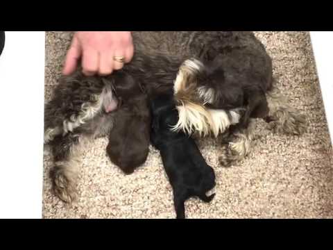 Jenna and her 2 new schnoodle kids 12-15-16