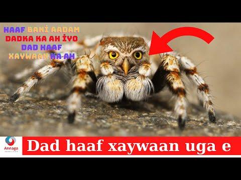 Haaf bani aadam haaf xaywaan ciyaal ka ah oo qaarada laga mamnuucay.