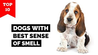 Top 10 Dog Breeds With Best Sense Of Smell