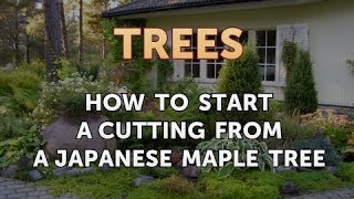 How to Start a Cutting From a Japanese Maple Tree