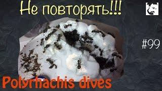 Очередные приключения // муравьи Polyrhachis Dives // #99