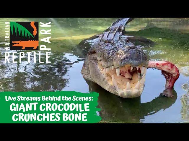 SALTWATER CROCODILE FEEDING (LIVE FOOTAGE) | AUSTRALIAN REPTILE PARK