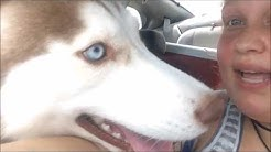 Owning a Husky in Florida?