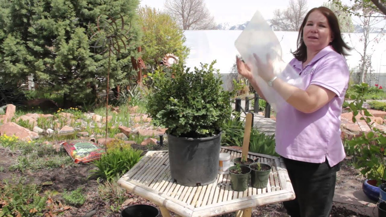 how to make boxwood grow faster