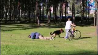 Собака телохранитель. Дрессировка немецкой овчарки