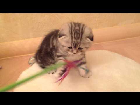 Шотландский вислоухий серебристо-черный мраморный котенок