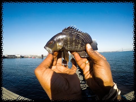 STATEN ISLAND BLACK SEA BASS FISHING!!| GREAT BEGINNER TARGET SPECIES