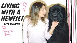 Living with a Newfie: Meet Bhaaloo and what to know about Newfies