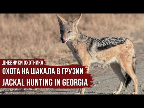 Дневники охотника. Охота на шакала в Грузии