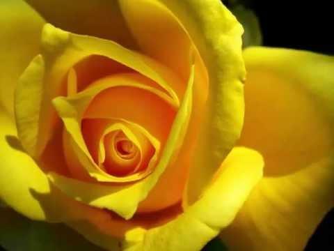 Красота природы. Желтые розы