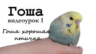 """♫ Учим попугая по имени Гоша говорить, видеоурок 1: """"Гоша хорошая птичка!"""""""