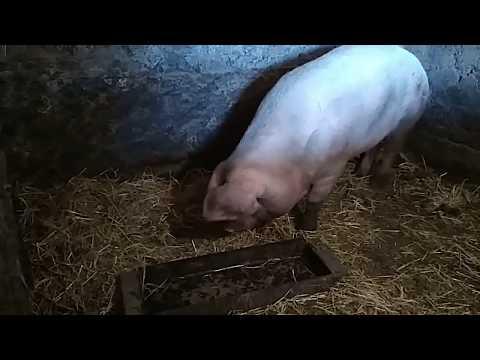 Обмеряем свинью перед забоем. Облом!!! В таблицу не поместилась.