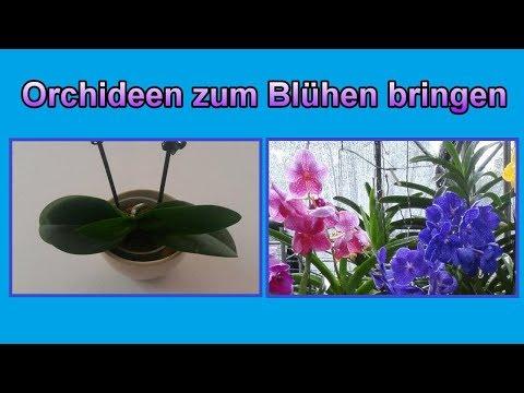 Orchideen Wieder Zum Blühen Bringen Pflege Tipps Orchidee Blüht