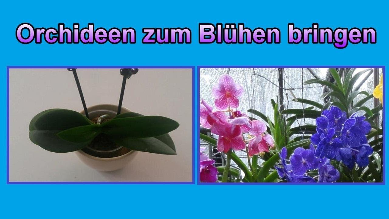 Top Orchideen wieder zum Blühen bringen - Pflege Tipps / Orchidee &NE_22