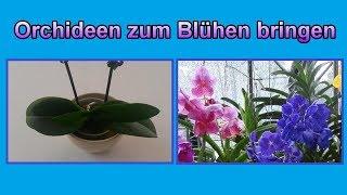 Orchideen wieder zum Blühen bringen - Pflege Tipps / Orchidee blüht nicht mehr  – Was tun?