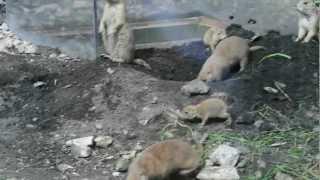 Opole Zoo, Pieski preriowe (nieświszczuki)