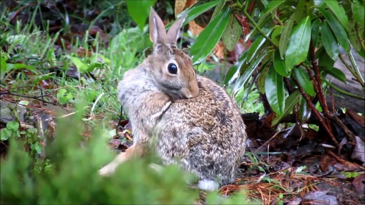 cottontail rabbits essay