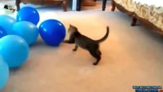 Кошки воюют с воздушными шарами Прикол!