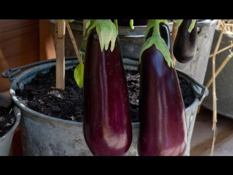 10 Tips To Growing Eggplant In A Pot Or Container   YouTube