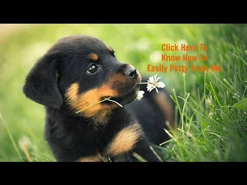 How To Potty Train My Rottweiler Puppy - Best Way To Fully (Housebreak) Your Rottweiler