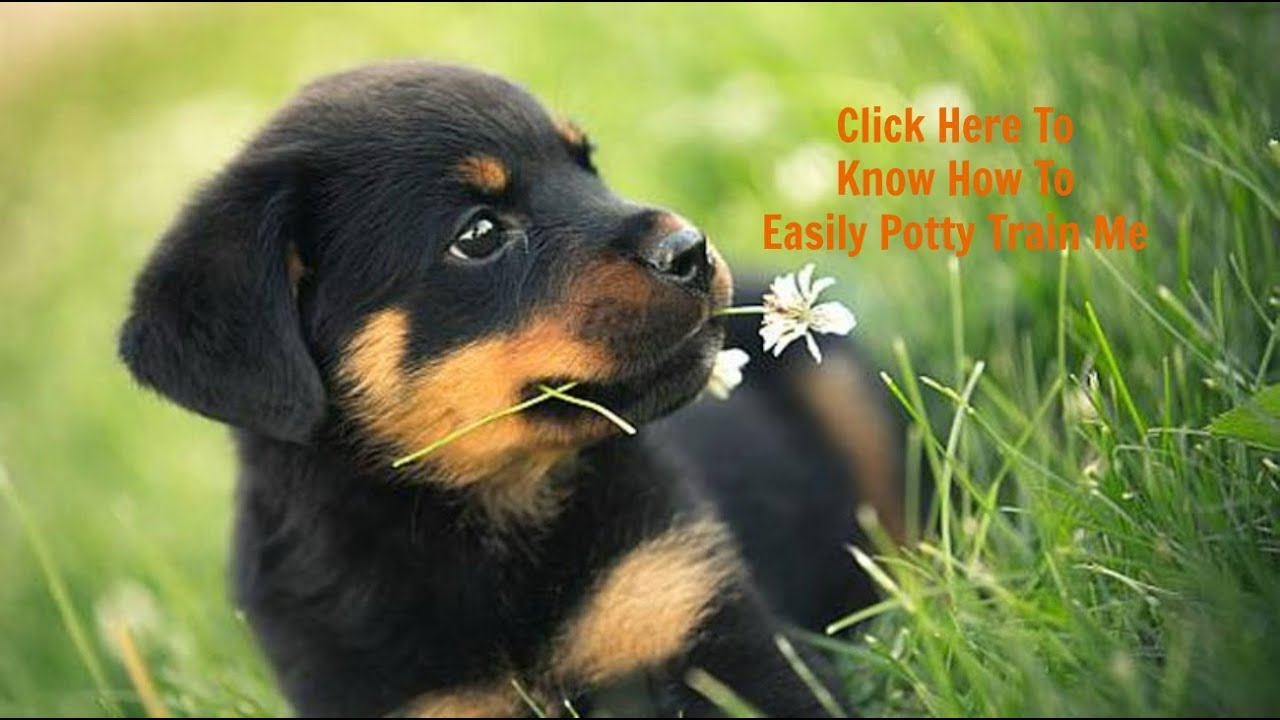 How To Potty Train My Rottweiler Puppy Best Way To Fully