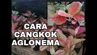 Download lagu CARA CANGKOK AGLONEMA sangat mudah bersama kak Rahma MP3